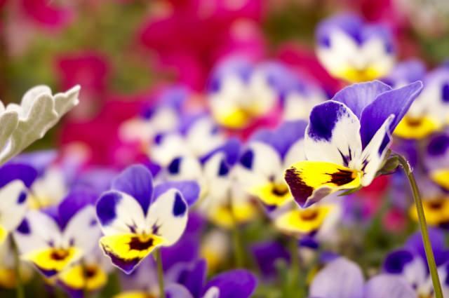 ビオラ 花言葉